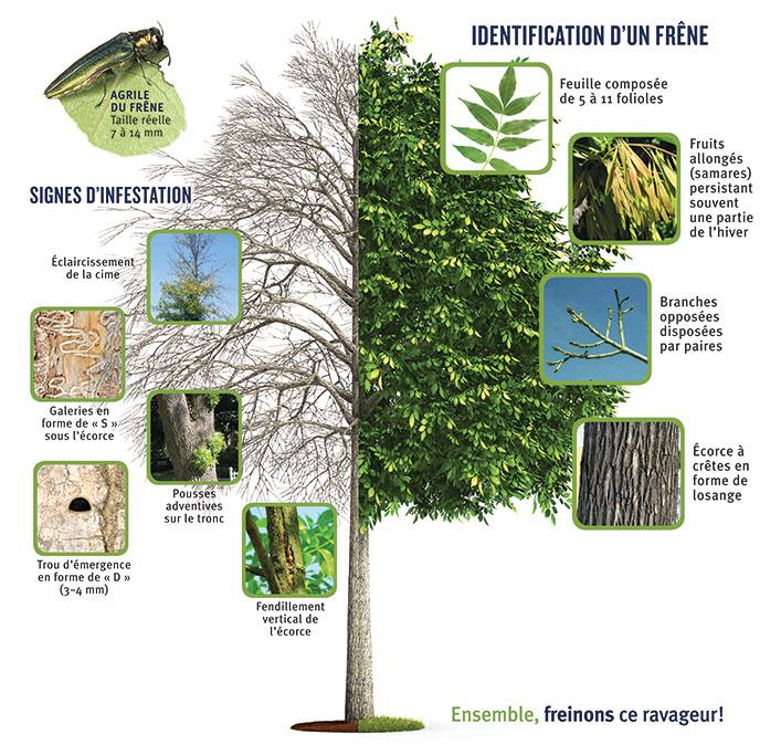 Agrile du frêne